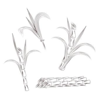生のサトウキビ植物の茎のセットです。