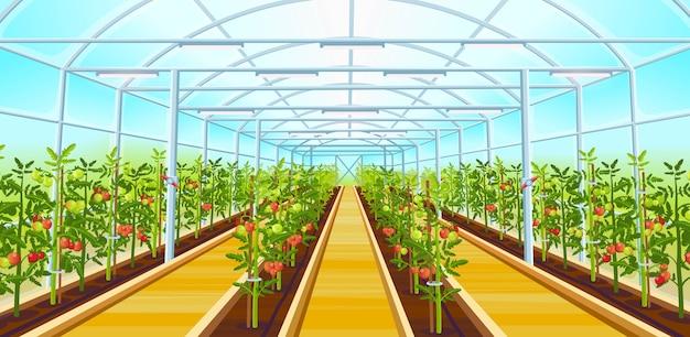 トマトの苗が並ぶ大きな温室。漫画イラスト。