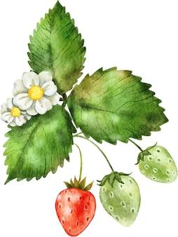 수채화로 그린 맛있게 잘 익은 빨간 딸기와 잎의 꽃다발