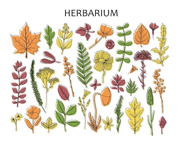 植物標本室のための乾燥した葉と花のセット。線画