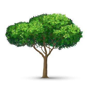 密な冠と緑の葉のある木。白い背景で隔離の詳細図。