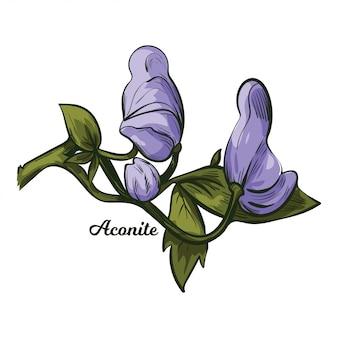 Aconite monkshood, wolfsbane, aconitum. aconitum leopards bane, mousebane, womens bane, devils helmet, queen of poisons, blue rocket. blooming blue flowers and green leaves.