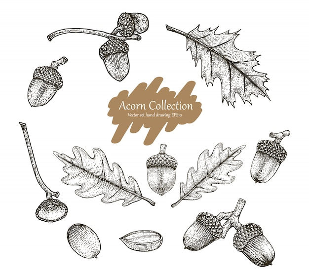 Acorn collection set hand drawing vintage style