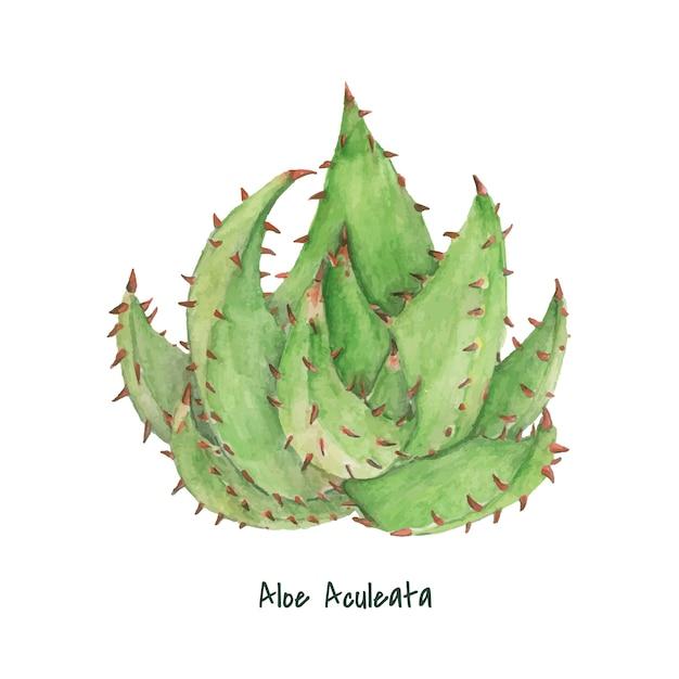 手描きのアロエaculeata植物