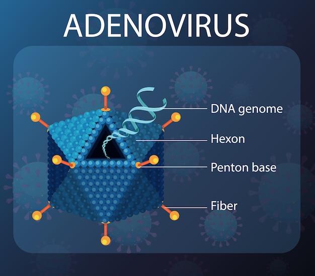 Diagramma della struttura dell'adenovirus sullo sfondo del virus