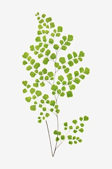 Adiantum assimile 고사리 잎