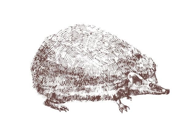 白い背景の上の輪郭線で描かれた愛らしいハリネズミの手描き。雑食性の夜行性動物の外形図。森林の野生種。アンティークの木版画スタイルのモノクロのベクトルイラスト。
