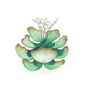 Adromischus maculatus 옥양목 하트 또는 꽃과 초콜릿 드롭 정원 d를 위한 즙이 많은 식물