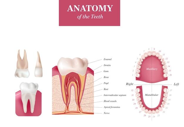성인 국제 치아 번호표. 범용 넘버링 시스템. 치아의 해부학