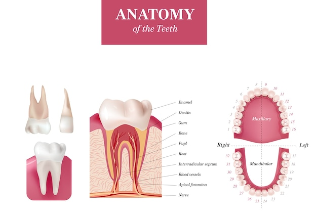 Adult international tooth numbering chart. universal numbering system. anatomy of the teeth