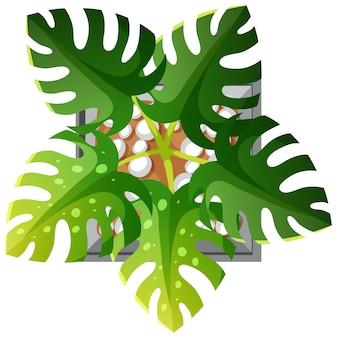 Вид с воздуха на растение монстера, изолированные на белом фоне