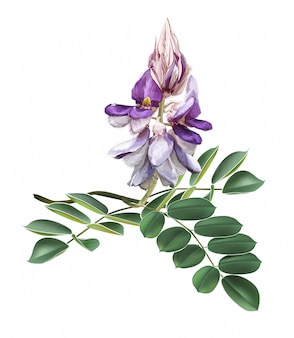 Afgekia mahidoliae красивый цветок векторная иллюстрация