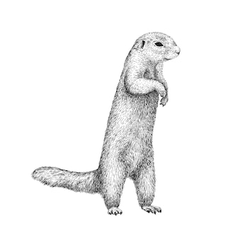 African ground squirrel drawing in sketch style illustration of beautiful black and white animal.
