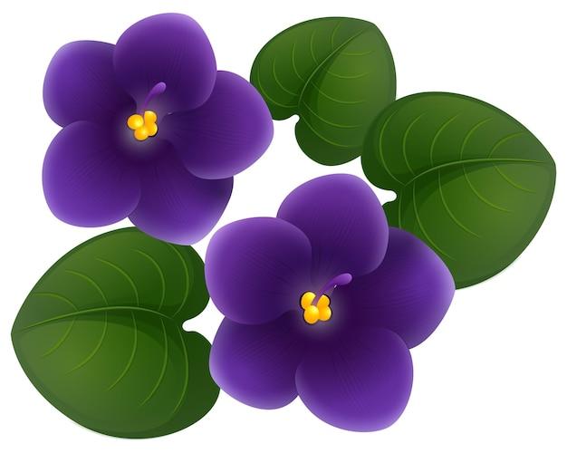 Африканские фиолетовые цветы и зеленые листья