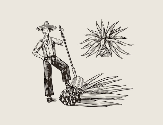 Agave plant for cooking tequila. fruit and farmer and harvest. retro poster or banner. engraved hand drawn vintage sketch. woodcut style.  illustration.