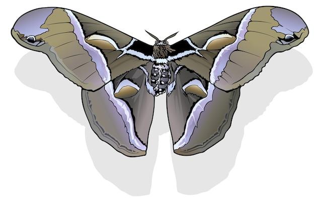 Ailanthus silkmoth бабочка samia cynthia