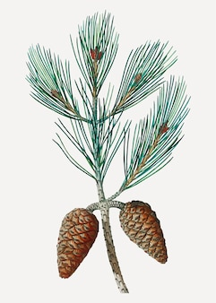Aleppo pine tree branch