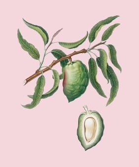 Almond from pomona italiana illustration