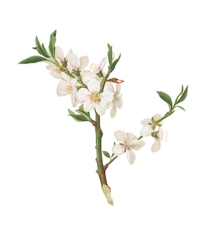 Almond tree flower from pomona italiana illustration