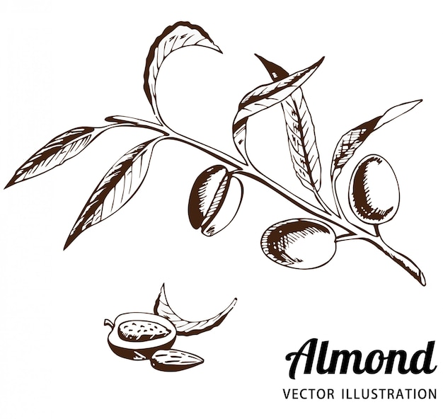 The almond tree with fruits on a branch. fruits of almonds, almond grains vector sketch.