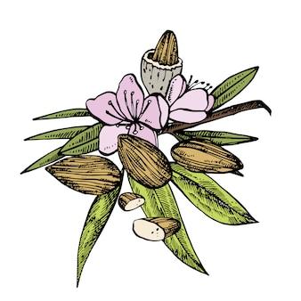 Almonds sketch illustrations
