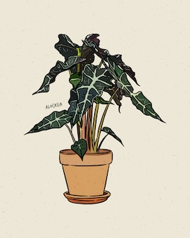 Alocasia는 araceae과의 넓은 잎이 달린 뿌리 줄기 또는 결절성 다년생 꽃 식물의 속입니다. 손으로 그리는 스케치.