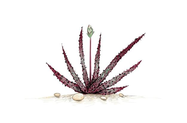 알로에 블랙 뷰티 정원 장식을 위한 날카로운 가시가 있는 즙이 많은 식물