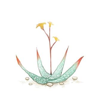 Aloe buhrii 또는 노란색 꽃이 있는 점박이 알로에 정원용 12월에 날카로운 가시가 있는 다육 식물