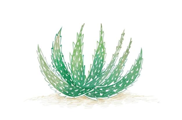 정원 장식을 위한 날카로운 가시가 있는 알로에 크로스비 다작다육 식물
