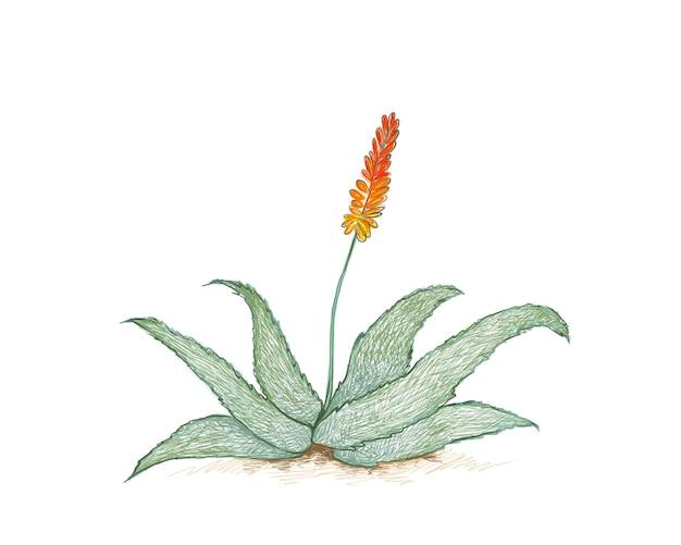 붉은 꽃이 있는 알로에 페록스 또는 쓴 알로에 정원 장식을 위한 날카로운 가시가 있는 다육 식물
