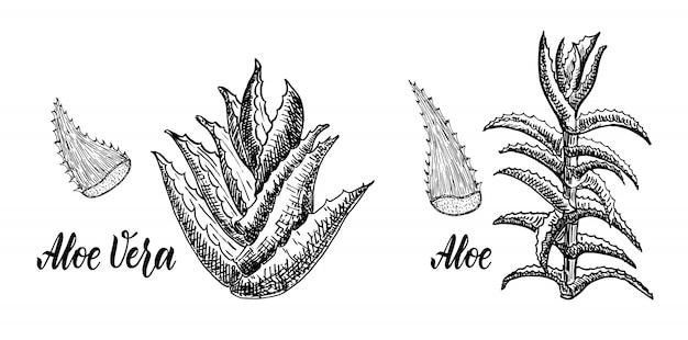 Алоэ древовидный и алоэ вера эскиз. ботанический рисунок. лекарственные растения.