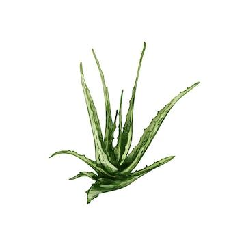 알로에 베라 잎이 있는 신선한 가지. 빈티지 벡터 해칭 색상 손으로 그린 그림 흰색 배경에 고립