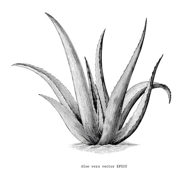 Алоэ вера рука рисовать старинные ботанические картинки на белом фоне