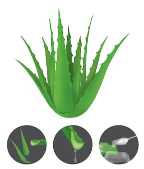 알로에 베라는 알로에 속의 즙이 많은 식물 종입니다.
