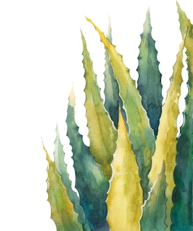 알로에 베라 흰색 배경에 수채화 그림을 나뭇잎