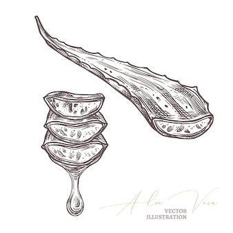 Aloe vera medical herb, branches and slices with drop of juice, botanical sketch hand drawn illustration