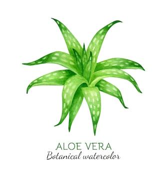 Растение алоэ вера, ботаническая акварель иллюстрация