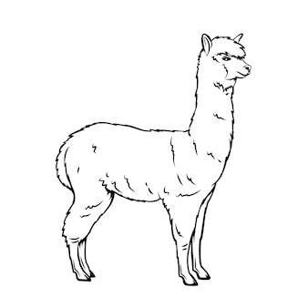 アルパカのアウトラインアイコン。動物園のラマ哺乳類。孤立したアルパカ動物、イラスト。