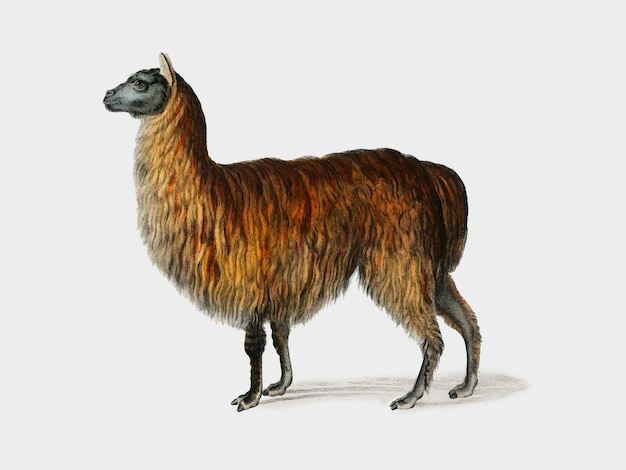 Alpaca (vicugna pacos) illustrated by charles dessalines d'orbigny (1806-1876).