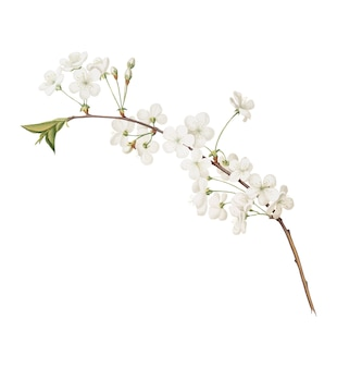 Amarena cherry flower from pomona italiana illustration