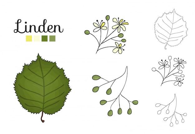 分離されたリンデンツリー要素のベクトルを設定します。シナノキの葉、ブランチ、花、果物、ament、コーンの植物図。黒と白のクリップアート。