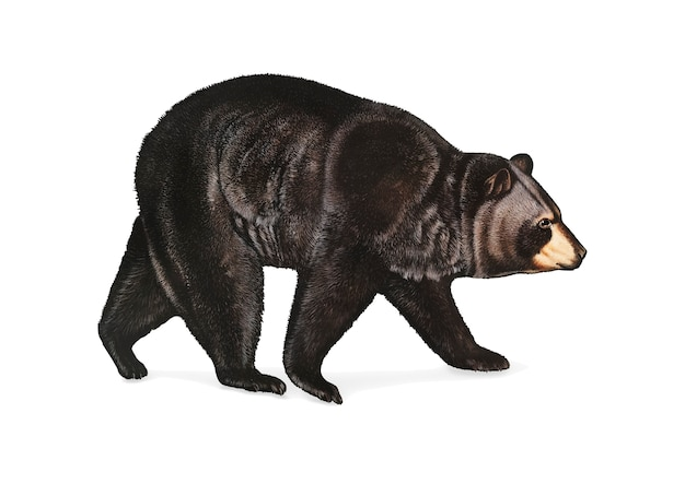 American black bear illustration