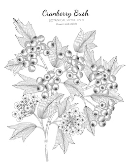 American cranberrybush fruit botanical hand drawn illustration.