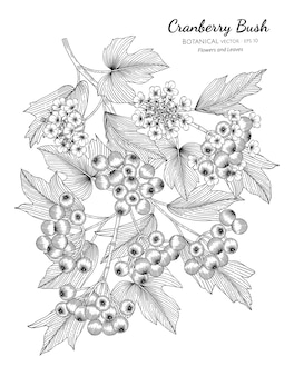 American cranberrybush fruit hand drawn botanical illustration with line art on white backgrounds.