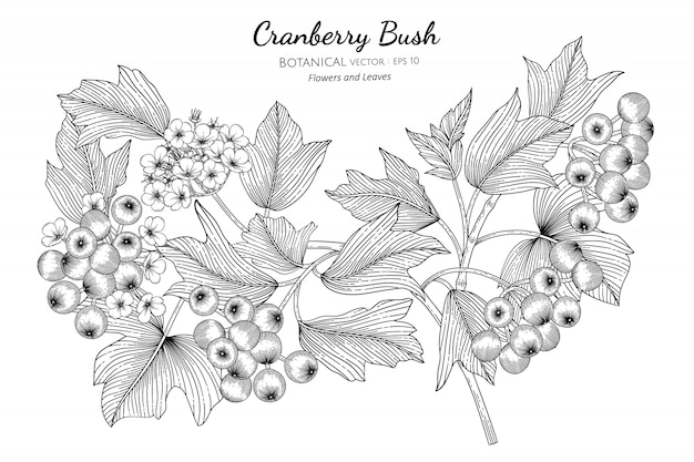 American cranberrybush fruit hand drawn botanical illustration with line art on white