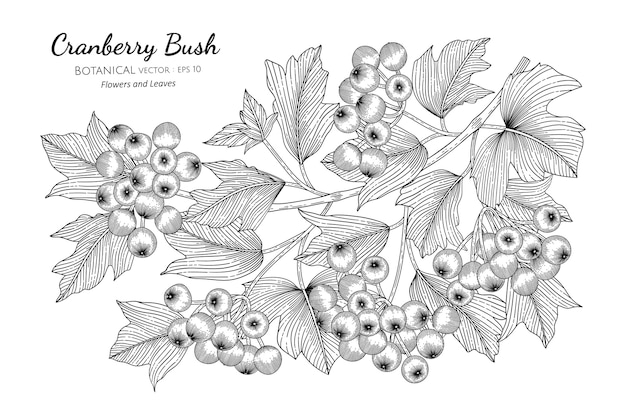 American cranberrybush fruit in hand drawn botanical illustration