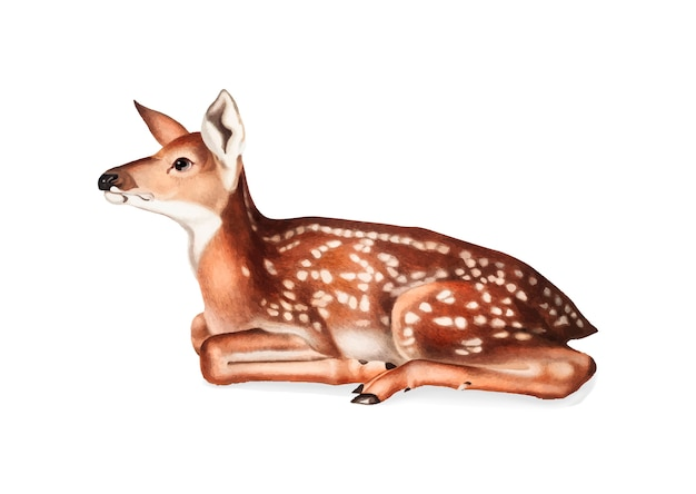 American deer illustration