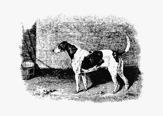 American foxhound vintage drawing