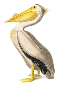 American white pelican illustration