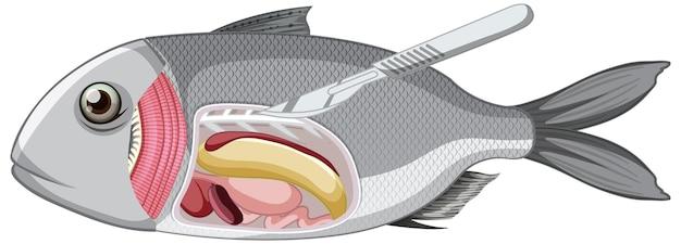 白い背景の上の魚の解剖学